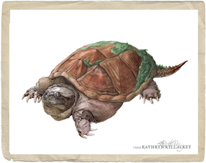 """""""Common Snapping turtle"""" by Kathryn Killackey"""