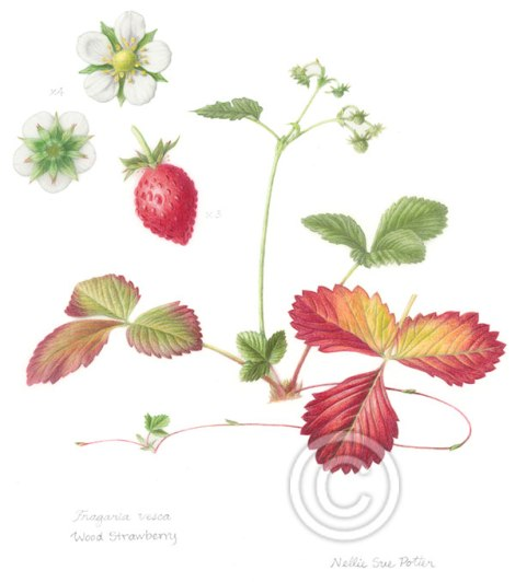 """""""Wood Strawberry"""" by Nellie Sue Potter"""
